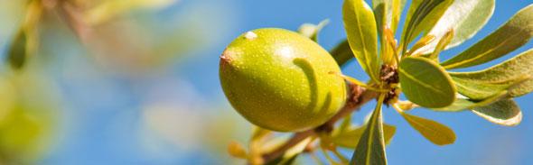 Arganolienoot-aan-boom